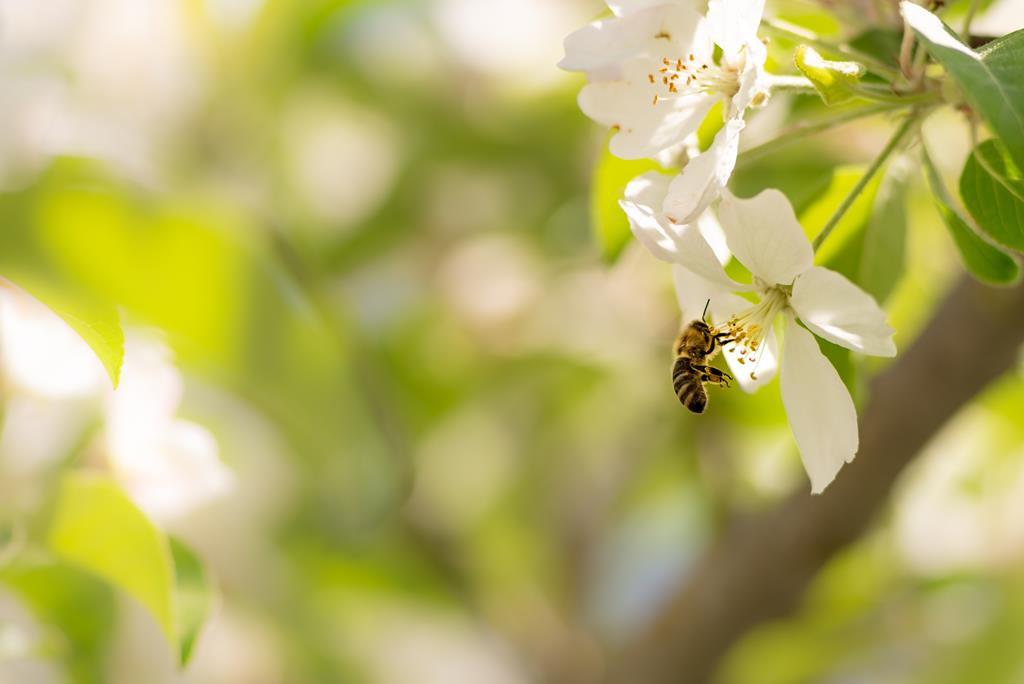 Ratuj pszczoły - owad do zadań specjalnych